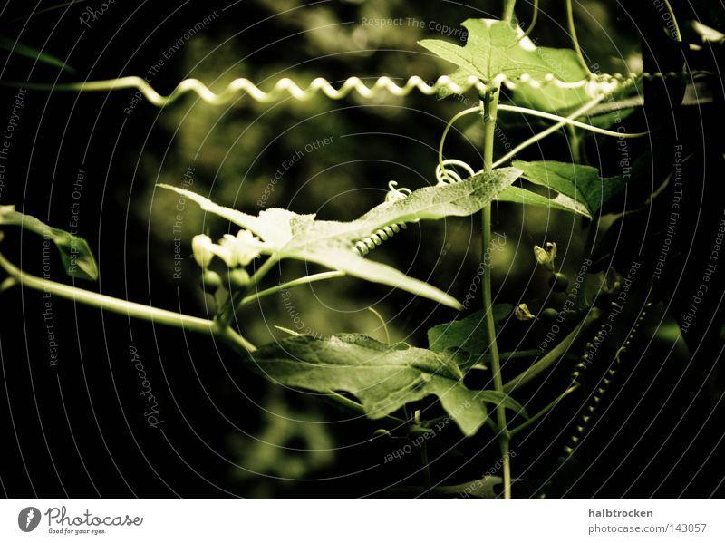Ruf mich zur Ablenkung an. Pflanze Schleifenblumen Kommunizieren Sommer Pflanzen Grün Verwickelt Blätter filigran Blume