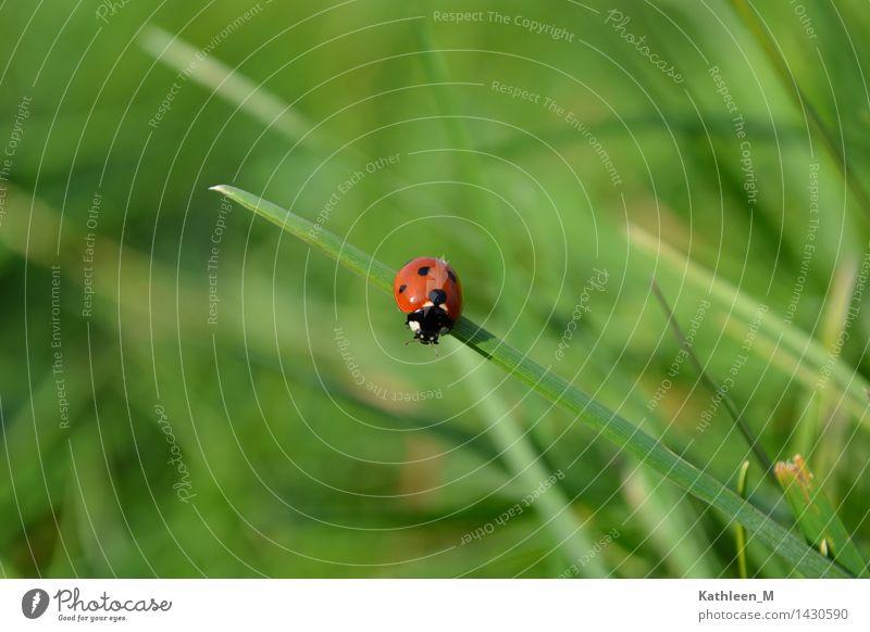 Marienkäfer Gras Käfer 1 Tier frisch klein grün rot Glück Idylle Natur Farbfoto Außenaufnahme Nahaufnahme Tag