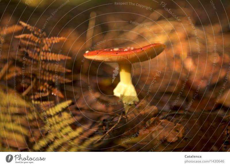 Fliegenpilz mit Farn Umwelt Natur Herbst Wetter Pilz Wald stehen Wachstum wandern frisch schleimig schön braun gelb gold orange rot achtsam ruhig authentisch