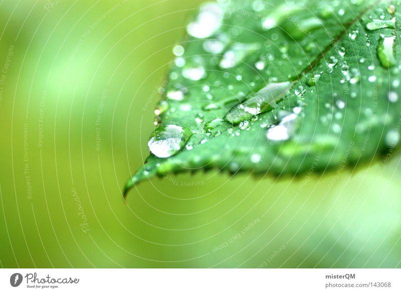 Es grünt so grün... Blatt Pflanze Natur Gartenbau Wohnung Wasser Tropfen Wassertropfen hell Rosenblätter Duft Regen Makroaufnahme hydrophob schön