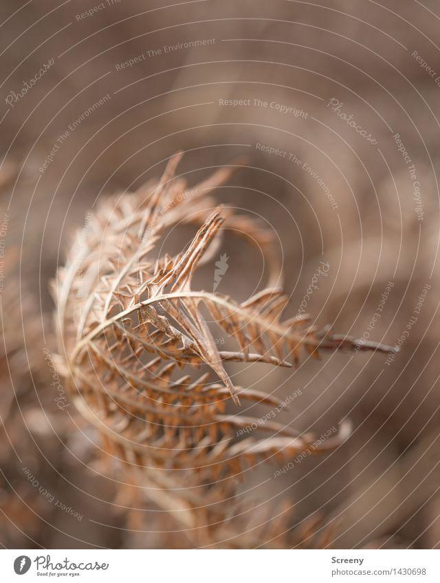 Vergänglich Natur Pflanze Herbst Farn Wald verblüht trocken braun Senior Ende Vergänglichkeit Farbfoto Außenaufnahme Nahaufnahme Makroaufnahme Menschenleer