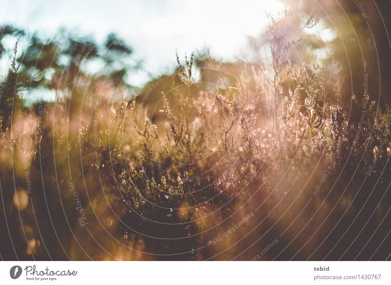Spätsommer Natur Landschaft Pflanze Wolkenloser Himmel Horizont Sonne Schönes Wetter Baum Blume Gras Blüte Wildpflanze Wiese Heide Wärme hell-blau Blühend