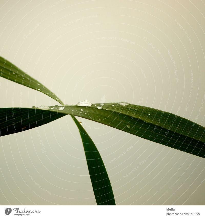 rainy day Natur grün Pflanze Gras grau Umwelt nass Wassertropfen frisch trist Tropfen Frieden natürlich Tau Halm trüb