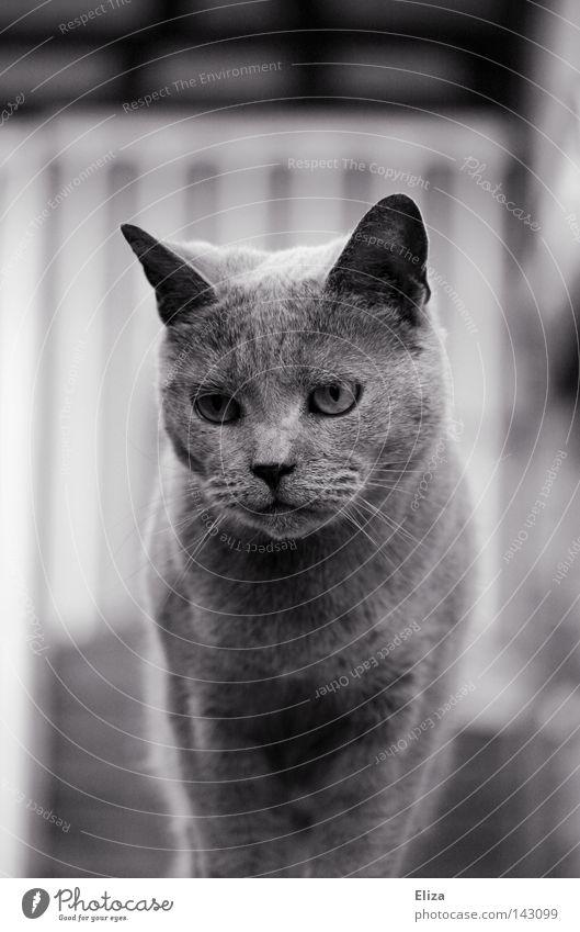 Katze II schön Tier Auge grau genießen weich Freundlichkeit Wohlgefühl Bauernhof Fell Haustier Säugetier Pfote kuschlig edel