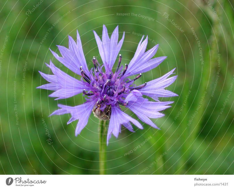 Kornblume grün blau Pflanze Wiese Blüte
