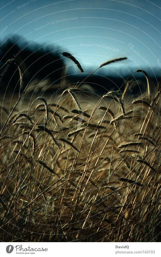 Stulle und Brot Himmel Ernährung Gras Feld Getreide Landwirtschaft Appetit & Hunger Ernte Halm Korn Ackerbau Samen Kornfeld Weizen Stroh Ähren