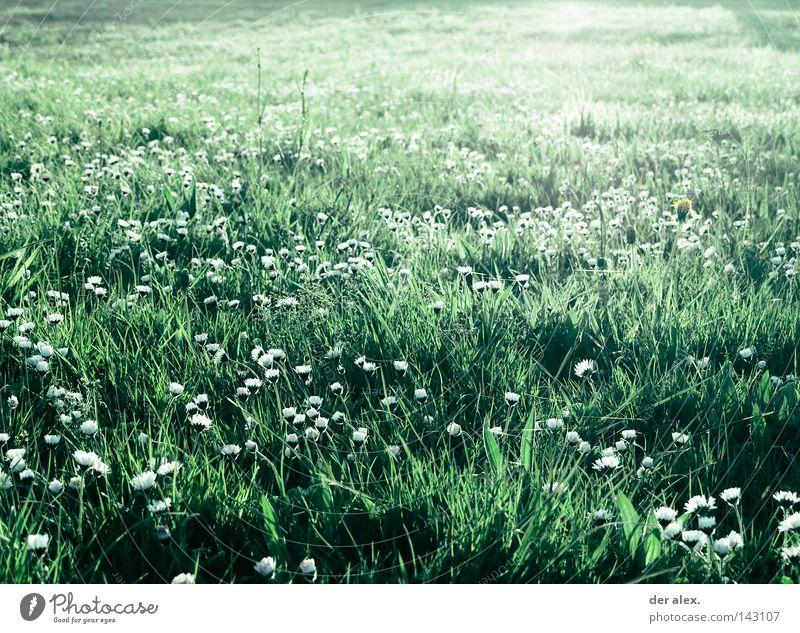 for the moment... grün Wiese Blume Gras Gänseblümchen schön Feld Pflanze Natur Umwelt Licht Sommer