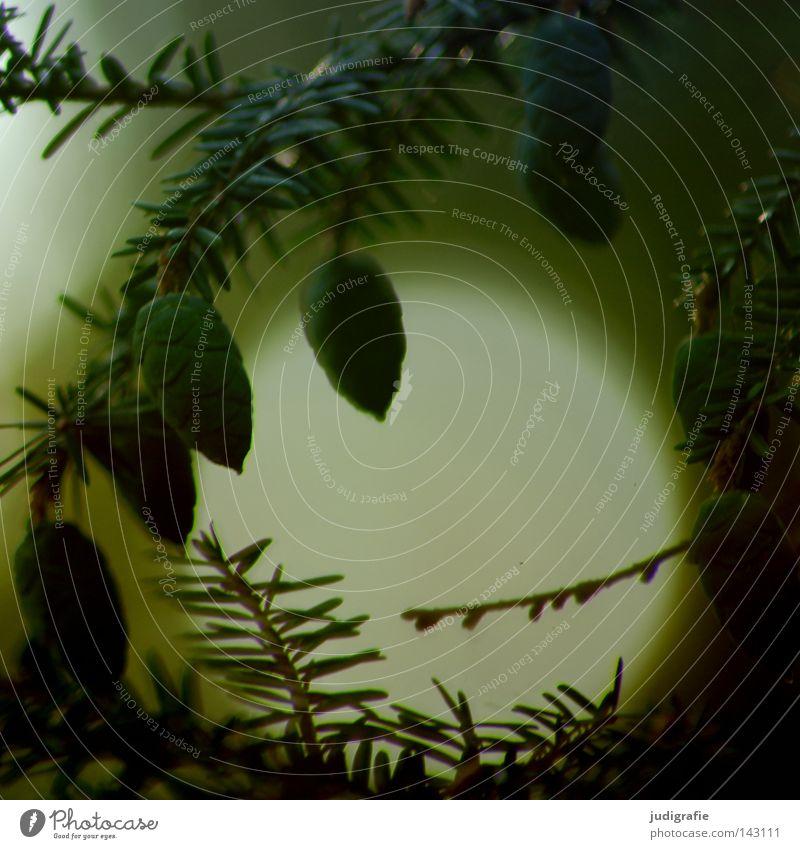Wald grün Kanada Zapfen Immergrüne Pflanzen dunkel Licht geheimnisvoll Geäst Zweige u. Äste Baum Natur Umwelt Gift Weihnachten & Advent Weihnachtsdekoration