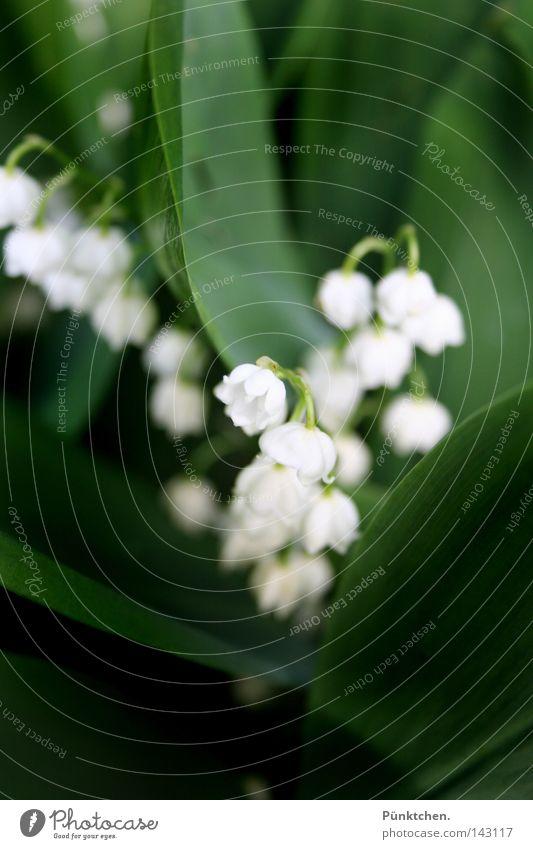 I live my life in shadow... Blume grün Pflanze weiß Glocke Umwelt Stengel Maiglöckchen hängen baumeln dunkelgrün böse Märchenwald Traumland Wiese Beet Park