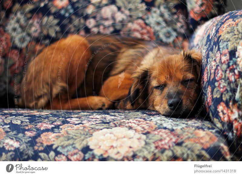 Ein schöner Traum Hund Erholung ruhig Tier Wärme braun liegen Zufriedenheit Lächeln schlafen Müdigkeit Haustier Sessel Welpe Blumenmuster