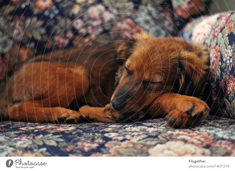 Herbstwetter Tier Haustier 1 schlafen Hund braun Sessel gemütlich bequem Blumenmuster schön Welpe weich träumen Pfote Müdigkeit Erholung Pause Farbfoto