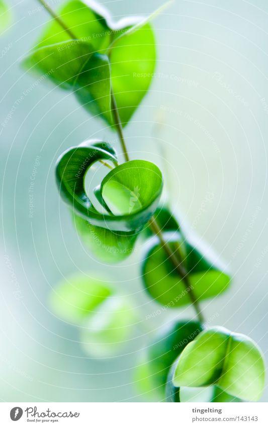 curly leaves Natur Baum grün Pflanze hell klein nah weich zart Stengel Geäst Zweige u. Äste Zimmerpflanze gedreht Blattgrün gewachsen