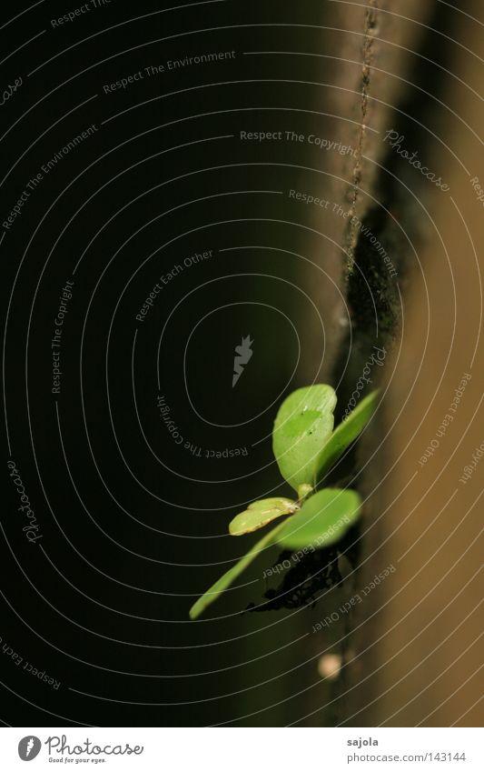 überlebenswille grün Pflanze Blatt Wand Stein Mauer braun Wachstum festhalten hängen Riss Wurzel Überleben karg verwittert Makroaufnahme