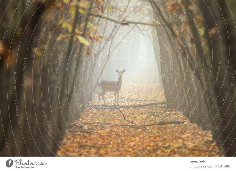 Damhirsch Hind im schönen Morgenlicht Frau Natur Farbe Baum Landschaft Tier Wald Erwachsene Umwelt Herbst natürlich braun wild Nebel gold