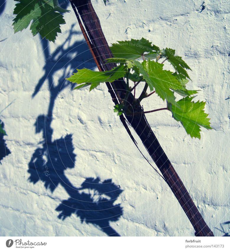 Trauben gibt's nächstes Jahr grün Pflanze Sommer Blatt Wand Holz Mauer Wachstum Wein Kultur Gastronomie Backstein Alkohol Sportveranstaltung Konkurrenz Weintrauben