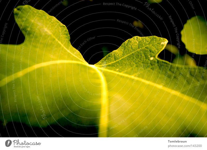Feigenblatt Baum grün Sommer Blatt schwarz dunkel Gemüse grün-gelb Feigenbaum