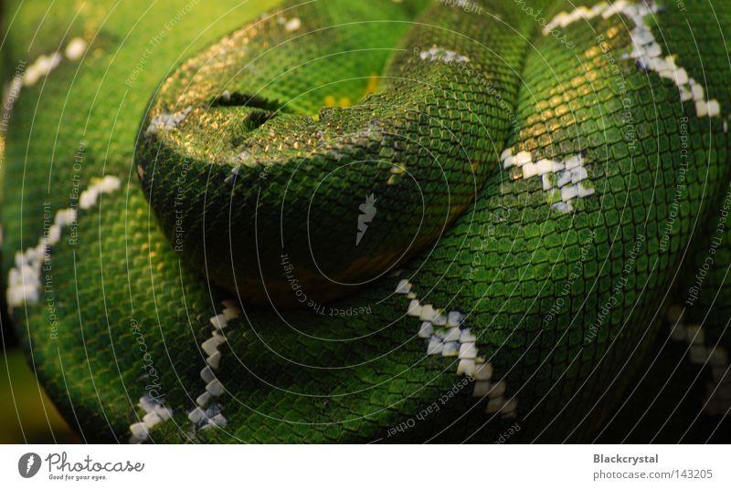 komprimiert Schlange Reptil Schlangenleder Muster Terrarium Hautfalten Zoo Scheune