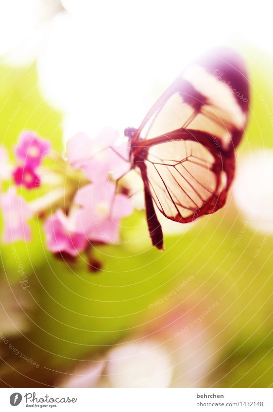 im traumland Natur Pflanze Tier Frühling Sommer Schönes Wetter Blume Blatt Blüte Garten Park Wiese Wildtier Schmetterling Flügel glasflügelfalter 1 Blühend
