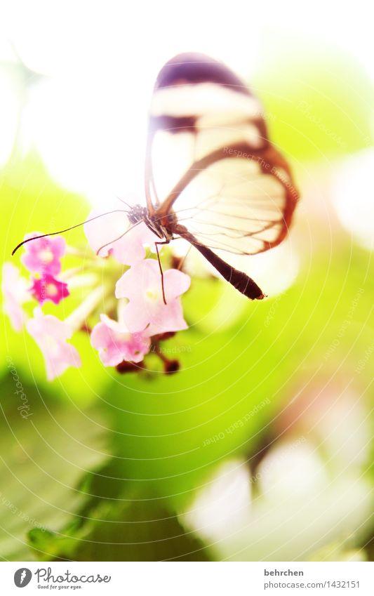 märchenwelt Natur Pflanze Tier Frühling Sommer Schönes Wetter Blume Blatt Blüte Garten Park Wiese Wildtier Schmetterling Flügel glasflügelfalter 1 beobachten