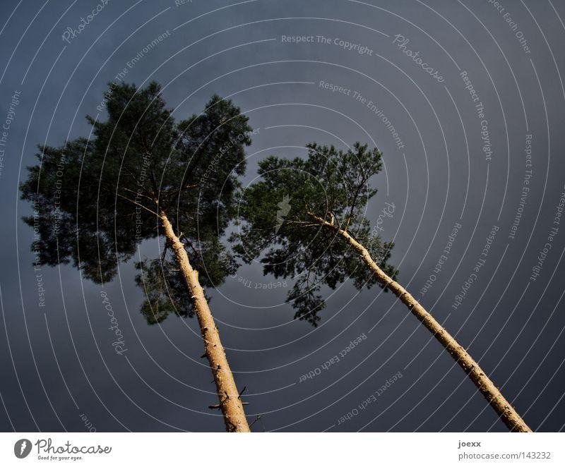 Staubwedel-Liebe Natur Himmel Baum Wolken dunkel Holz Zusammensein paarweise bedrohlich Sturm Leidenschaft Gewitter Baumstamm Baumrinde anlehnen Zuneigung