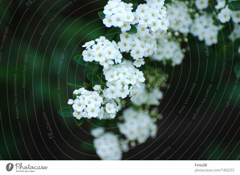 Strauch Natur weiß grün Blüte Frühling Sträucher Blütenblatt