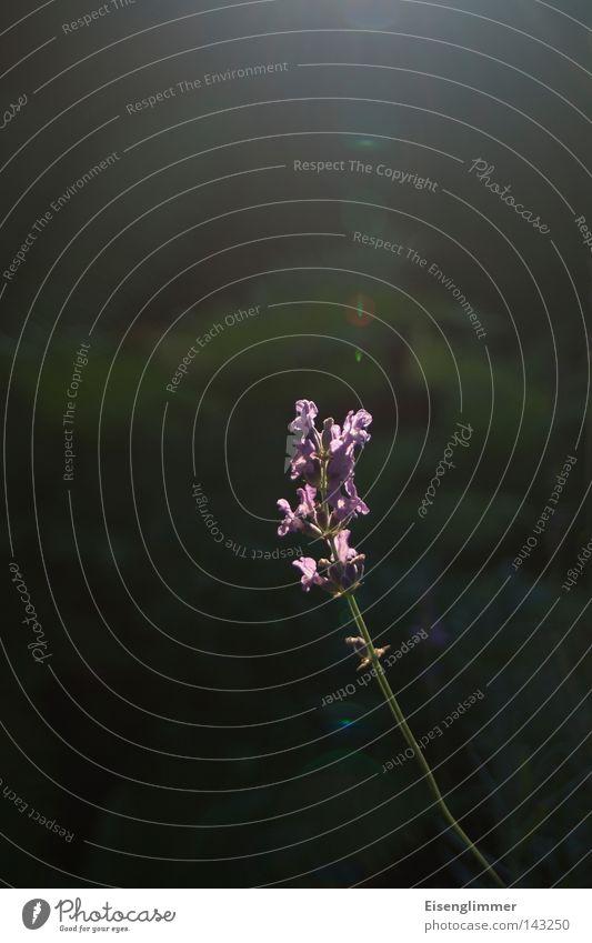Auf der Sonnenseite Natur grün schön Pflanze Sommer Blume Blüte hell dünn Stengel Blendenfleck leuchtende Farben