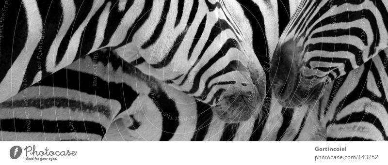 Damaras Streifen Tier Stil Freundschaft Design Muster Kommunizieren Kontakt Fell Zoo Wildtier Geruch Säugetier exotisch Schwarzweißfoto graphisch
