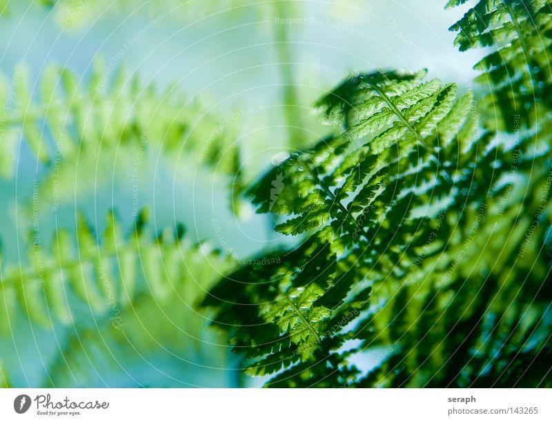 Farne grün dunkel Blattadern Echte Farne Pflanze Umwelt filigran zart feucht weich gefiedert frisch Wachstum Umweltschutz Botanik Biologie Reifezeit Lichtkegel