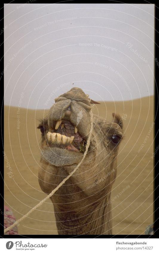 Camel Landschaft