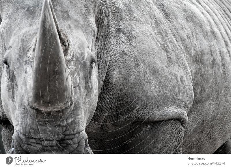 Mein letztes Foto. Nashorn Tier grau Wildtier wild Ungeheuer alt Haut Falte Hautfalten bedrohlich gefährlich Monster Koloss Macht böse Bulle Angst Dinosaurier