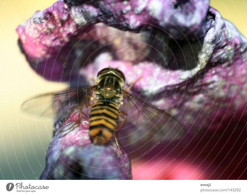 bssss Biene Wespen Tier Insekt Schwerelosigkeit Schweben Blume Makroaufnahme Retroring Natur Pflanze frisch violett Nahaufnahme rosa Rose Allergiker dehydrieren