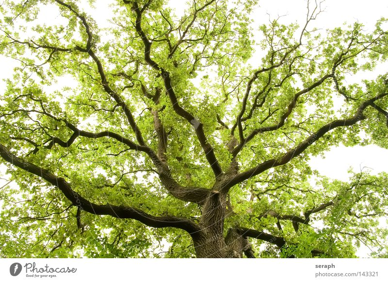 Tentakel Natur alt Baum Frühling grün Kraft Wachstum natürlich Netzwerk Ast aufwärts Baumkrone Vernetzung Geäst filigran Sauerstoff
