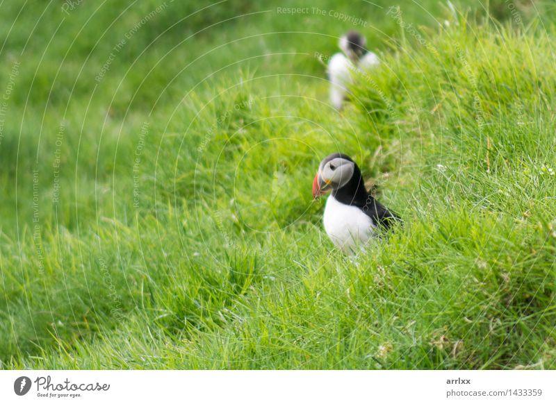 Atlantische Papageientaucher, Fratercula arctica Menschengruppe Natur Landschaft Tier Gras Vogel 2 lustig natürlich niedlich wild blau schwarz weiß Gefühle