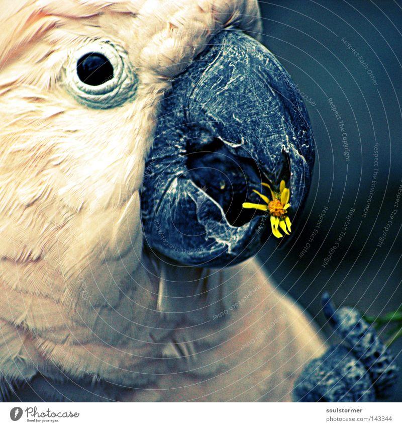 teatime Cross Processing Digitalfotografie Grünstich Gelbstich Kakadu Blume Ernährung gelb Vogel Auge Schnabel Kopf Tier füttern Futter Krallen alt fliegen frei