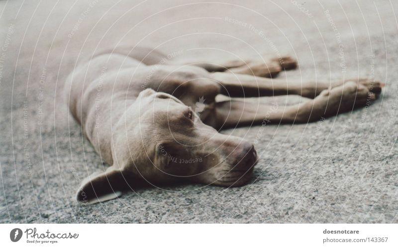 sleep tight, precious. Tier Haustier Hund 1 liegen niedlich Langeweile Müdigkeit Schwäche Weimaraner Jagdhund analog Säugetier exa 1b Erschöpfung Erholung Pause