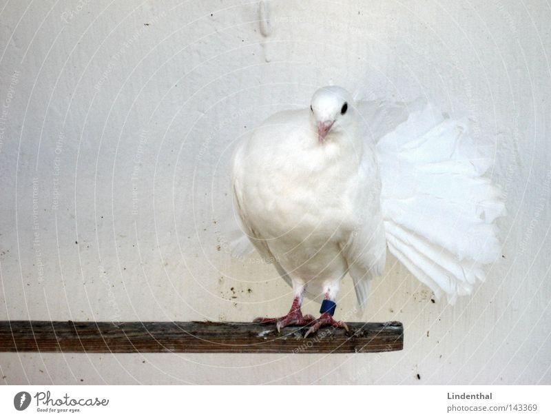 Dove Taube weiß Tier Schnee Vogel elegant Feder Steg edel Schüchternheit Flirten Hallo alles klar