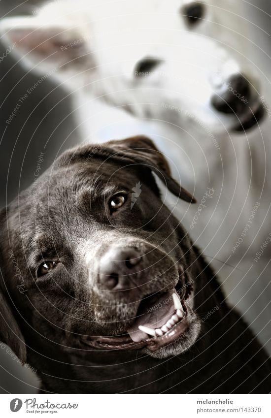 2 Dogs Hund weiß Spielen springen Freundschaft braun laufen Bildung Wachsamkeit Säugetier Berufsausbildung Nervosität Treue üben Labrador Tier