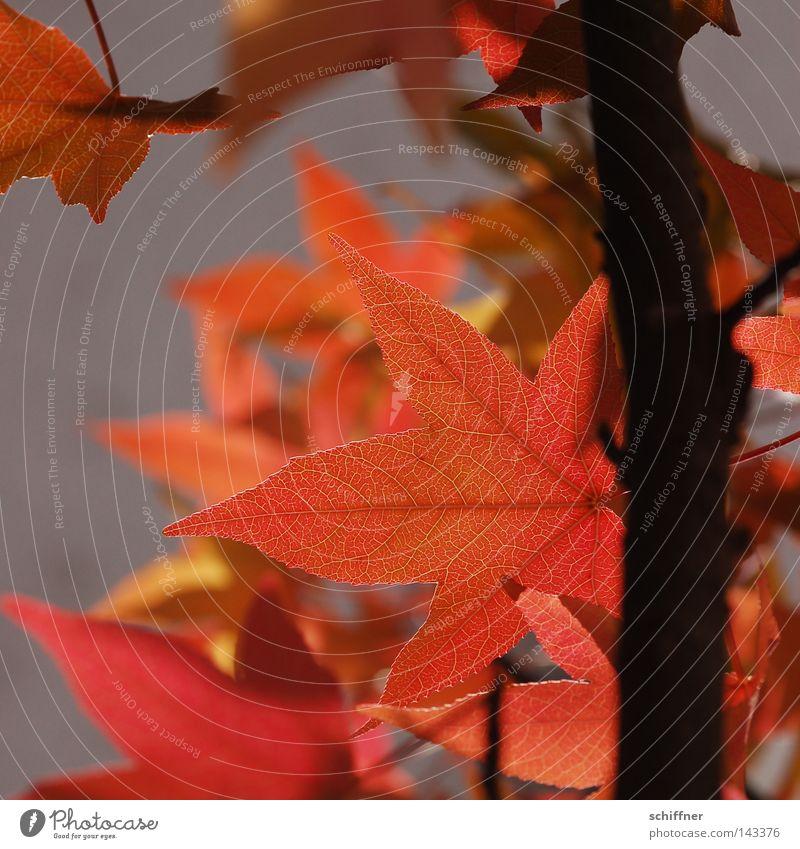 Es ist bald wieder soweit... Baum rot Blatt gelb Lampe Herbst Wand orange Ast Jahreszeiten leicht Zweig Herbstlaub Ahorn luftig