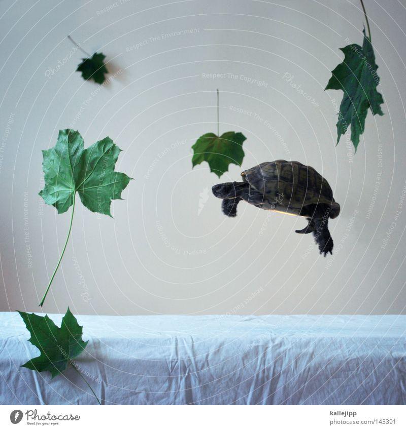 die leichtigkeit des seins Schildkröte Blatt Kraft Schweben leicht Leichtigkeit Haustier Schwerelosigkeit Schwerkraft Tier Schildkrötenpanzer Vor hellem Hintergrund Griechische Landschildkröte
