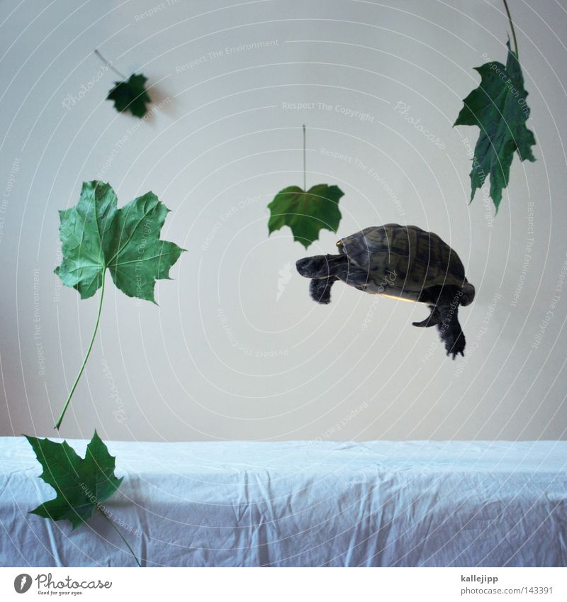 die leichtigkeit des seins Schildkröte Blatt Kraft Schweben Leichtigkeit Haustier Schwerelosigkeit Schwerkraft Tier Schildkrötenpanzer Vor hellem Hintergrund