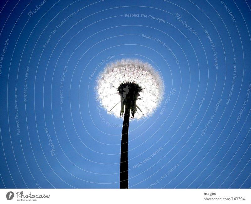 Gegenlicht Löwenzahn Samen Himmel blau Sonne Pflanze Makroaufnahme Nahaufnahme