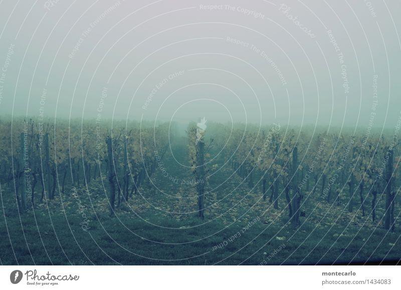 trübe aussichten Umwelt Natur Pflanze Urelemente Erde Himmel Herbst Klima Wetter schlechtes Wetter Nebel Gras Blatt Grünpflanze Nutzpflanze Wein Weinberg Wiese