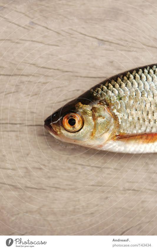 Fischkopp Tod Holz Fisch Tiergesicht Bildausschnitt Anschnitt Fischauge Angelköder schleimig Karpfen Kieme Köder Glubschauge Fischkopf fischig Totes Tier