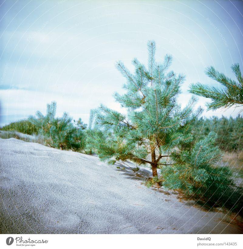 Dünenkiefer Strand Naturwuchs Wald Erosion Lomografie Küste Ostsee Stranddüne Küstendüne Flachküste Sand Pflanze Kiefer