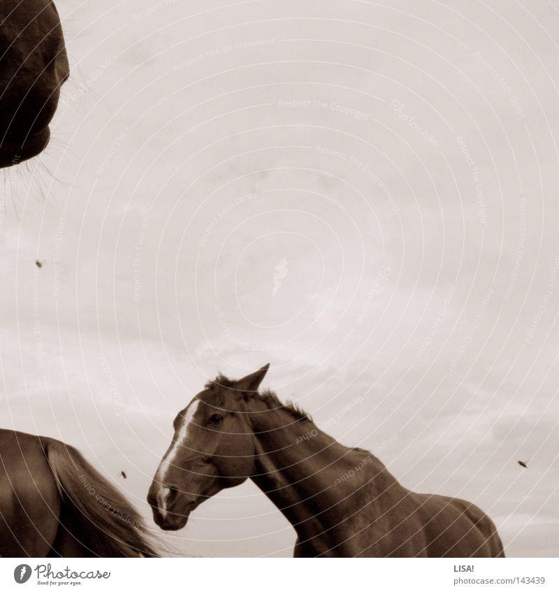 fliegen zwischen pferden Farbfoto Außenaufnahme Menschenleer Textfreiraum oben Hintergrund neutral Tag Tierporträt Pferd Fliege Bewegung drehen Kopf Schnauze