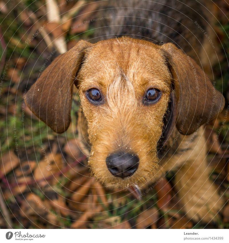Wackel Dackel Tier Haustier Hund Fernsehen schauen Blick braun gelb Gefühle Stimmung Tierliebe Angst seriös Rauhaardackel süß Welpe Farbfoto Gedeckte Farben