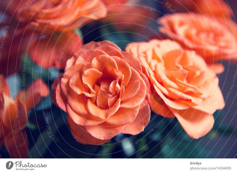 Danke für die Rosen | 1300 schön rot Freude Blüte Liebe Stil Glück Lifestyle Freundschaft orange frisch ästhetisch Blühend Blumenstrauß Duft