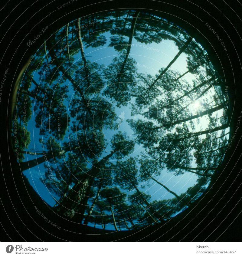 The Word for World is Forest Himmel Baum Sonne grün blau Sommer Wald oben hoch Wachstum rund analog Fischauge aufwärts positiv Dia