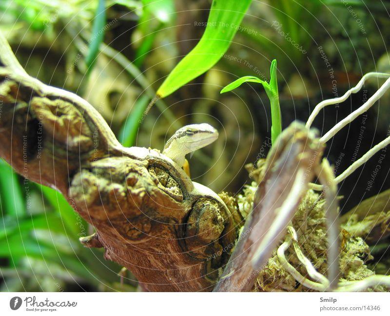 Willkommen im Jurassic Parc Tier Echsen Makroaufnahme Terrarium