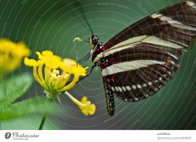 Zebra Blume Tier Schmetterling Flügel 1 gelb grün Insekt Fühler Nahrungssuche Blüte Blütenpflanze Innenaufnahme Nahaufnahme Makroaufnahme Menschenleer